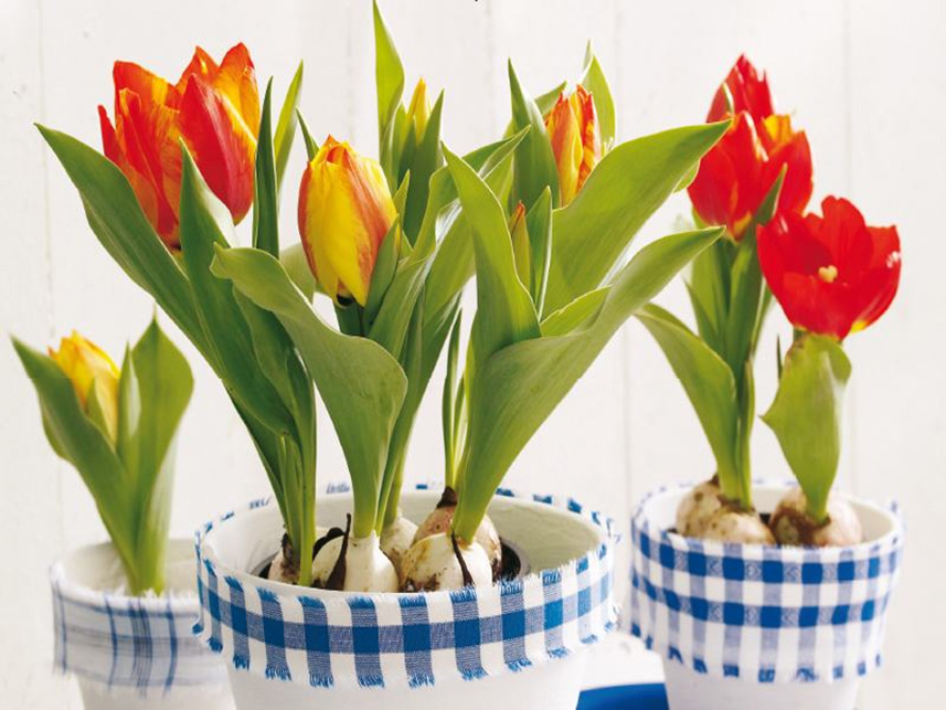 holland-tulipan-1
