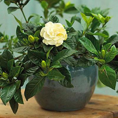 energetizalo-novenyek-feng-shui-gardenia