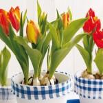 holland-tulipan-1